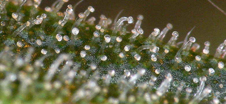 Milky trichomes